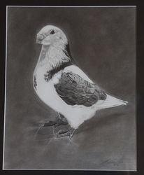Taube, Vogel, Bleistiftzeichnung, Zeichnungen