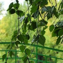Natur, Birken, Baum, Fotografie