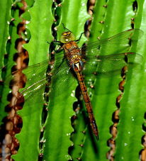 Libelle, Insekten, Fotografie