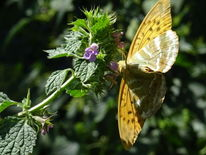 Natur, Schmetterling, Tiere, Fotografie