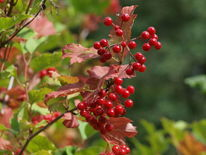Rot, Natur, Grün, Beere