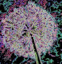 Kugellauch, Natur, Blumen, Digitale kunst