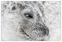 Seehund, Augen, Malen, Meerestiere