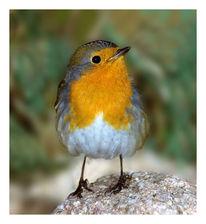 Vogel, Zwitschern, Rotkehlchen, Singen