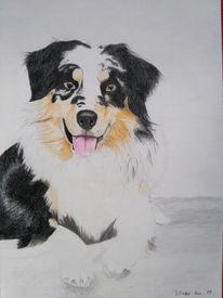 Hund, Buntstiftzeichnung, Australian shepherd, Zeichnungen
