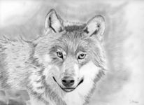 Zeichnung, Wolf, Bleistiftzeichnung, Zeichnungen