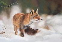 Schnee, Lichtung, Raubtier, Fuchs
