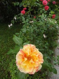 Garten, Blumen, Rose, Fotografie