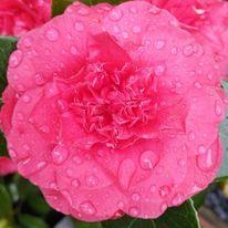 Camelie, Frühling, Blüte, Garten