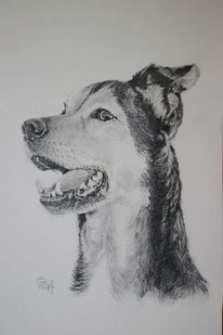 Brake, Bleistiftzeichnung, Hund, Zeichnungen