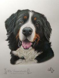 Hund, Polychromos, Berner sennenhund, Zeichnung