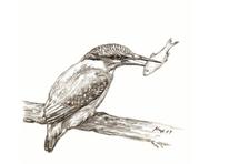 Bleistiftzeichnung, Vogel, Eisvogel, Zeichnungen
