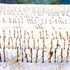 Winterfelder, Maisstoppeln, Aquarell
