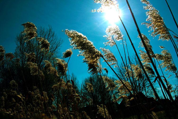 Licht, Zweig, Schilf, Pflanzen, Baum, Himmel