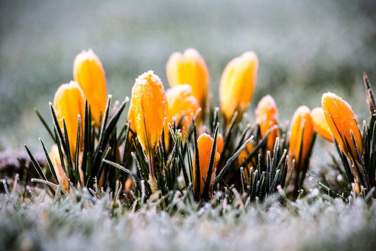 Morgen, Krokus, Rauhreif, Frühling, Makro, Gelb