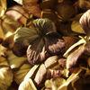 Pflanzen, Hortensien, Trockenblume, Verwelken