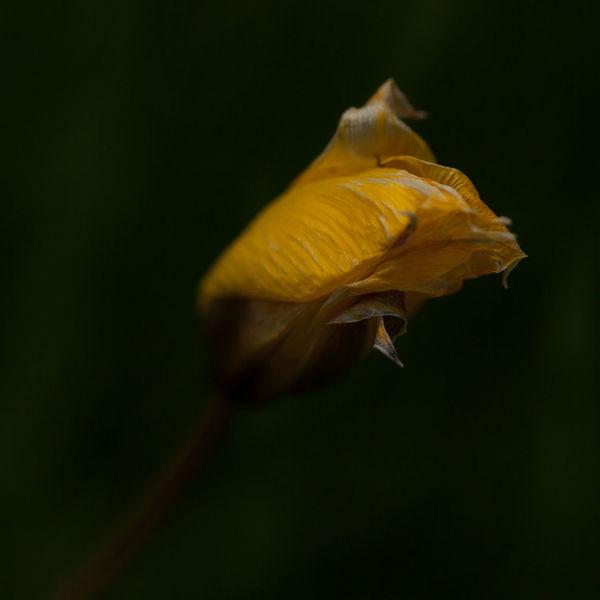 Weinbergtulpe, Tulpen, Wildtulpe, Fotografie