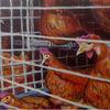 Huhn, Käfig, Tierhaltung, Malerei