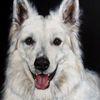 Hund, Hundeportrait, Malerei, Schäferhund