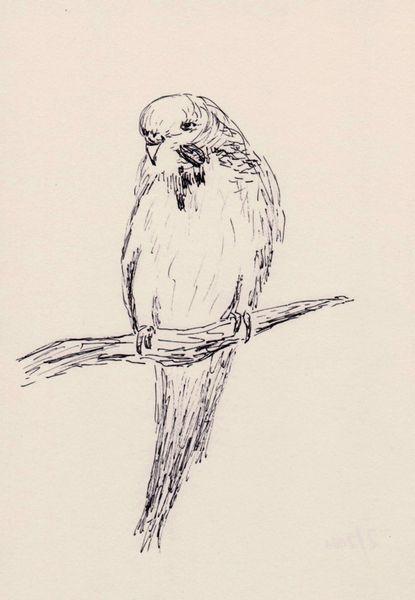 Zeichnung, Tuschmalerei, Sittich, Zeichnungen