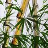 Stängel, Bambus, Blätter, Malerei