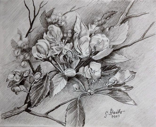 Apfelblüten, Bleistiftzeichnung, Blumenmalerei, Mudau, Skizze, Apfel