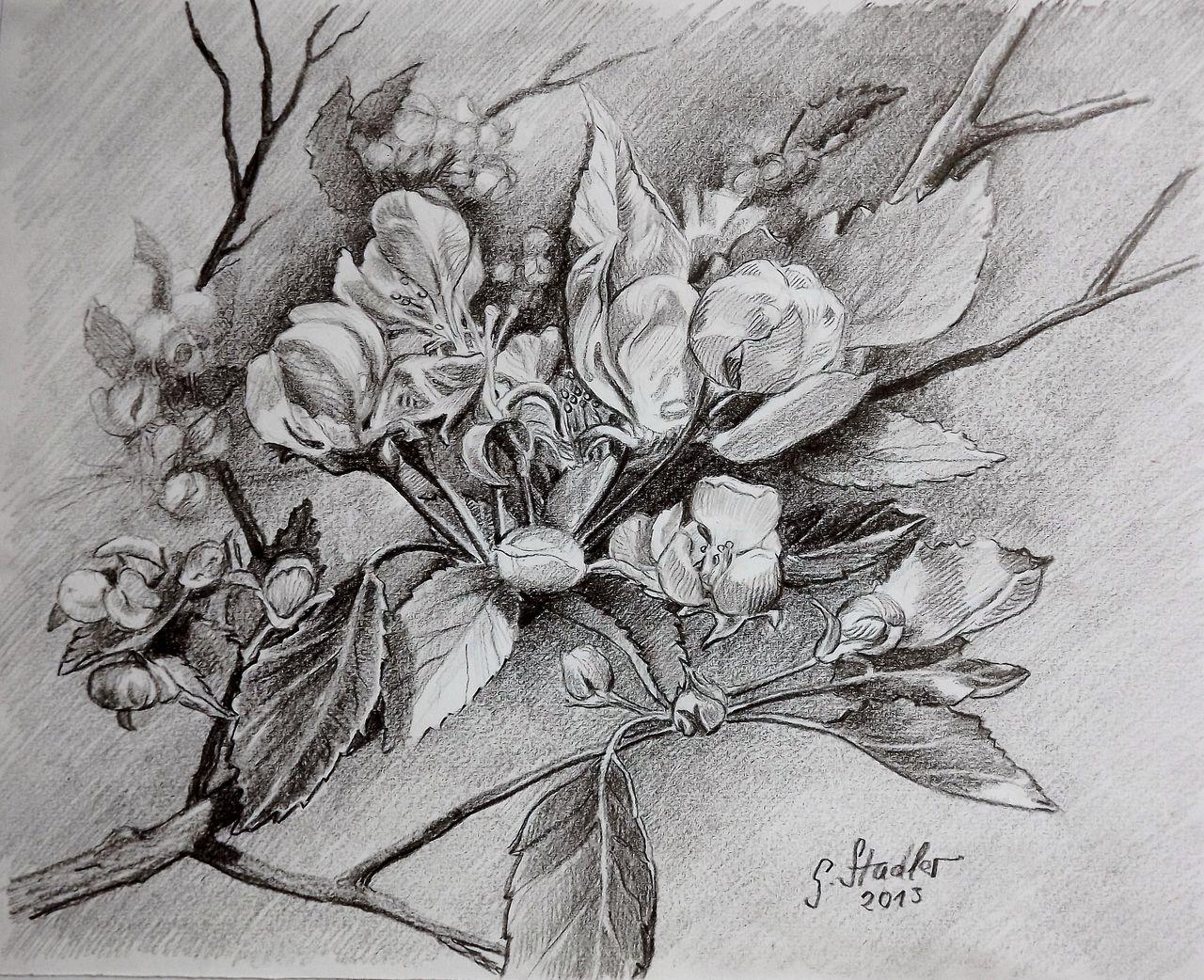 Apfelblüten Bleistiftzeichnung Jahreszeiten Odenwald Wetter Von