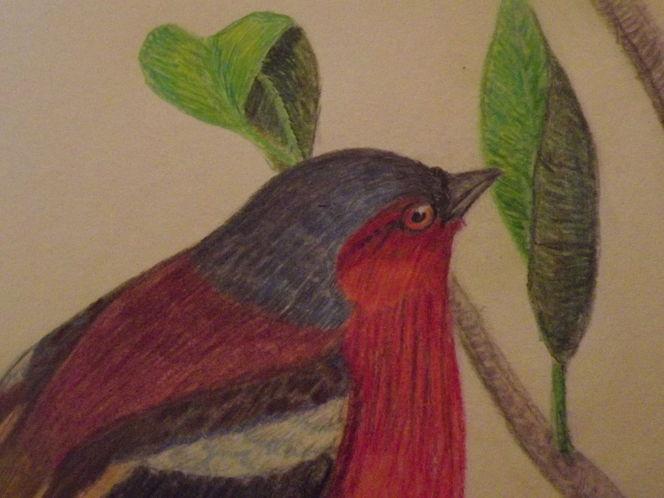 Singvogel, Buchfink, Vogel, Chaffinch, Fink, Zeichnungen