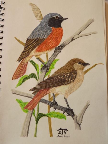 Singvogel, Vogel, Rotschwanz, Gartenrotschwanz, Zeichnungen,