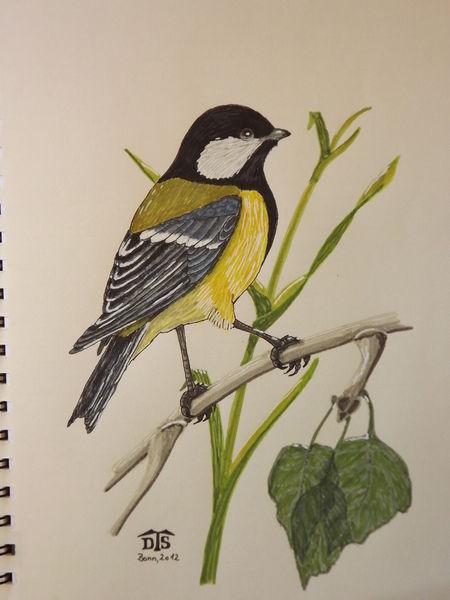 Kohlmeise, Eurasian great tit, Meise, Vogel, Singvogel, Zeichnungen