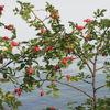 Gewässer, Hagebutte, Wildwachsende hagebutten, See