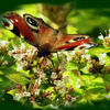 Blumen, Pfauenauge, Schmetterling, Fliegen