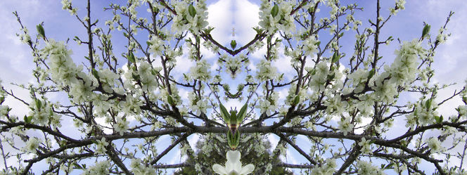 Kirschbaum, Spiegelung, Frühling, Hellblau, Blüte, Himmel