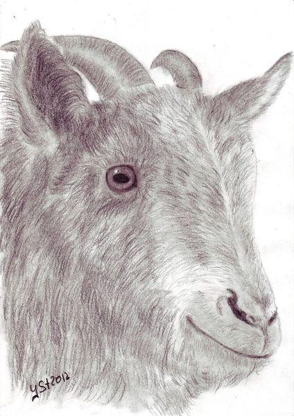Portrait, Tierzeichnung, Augen, Tiere, Ziegen, Zeichnungen