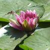 Seerosen, Teich, Pflanzen, See