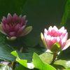 Blüte, Rose, Farben, Teich