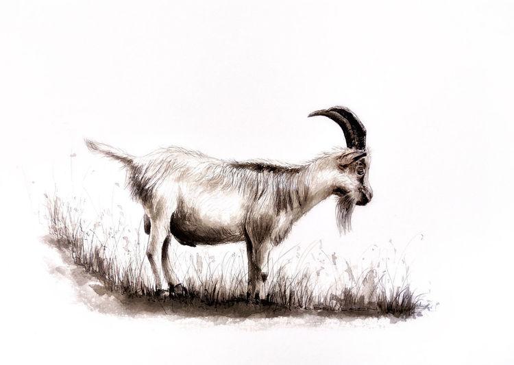 Ziegen, Ziegenbock, Tuschmalerei, Zeichnung, Zeichnungen