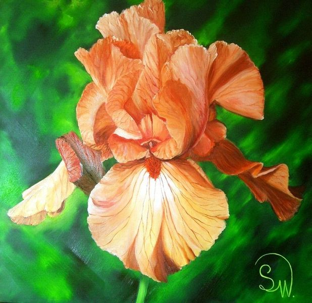 Iris barbata, Bourdillon, Duft, Blumen, Garten, Irisblüte