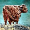 Rind auf weide, Rind im wind, Hochlandrind, Schottisches hochlandrind