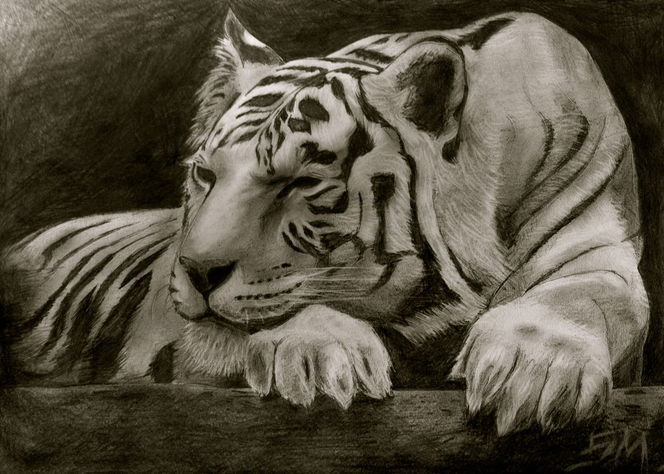 Zeichnungen, Tiger