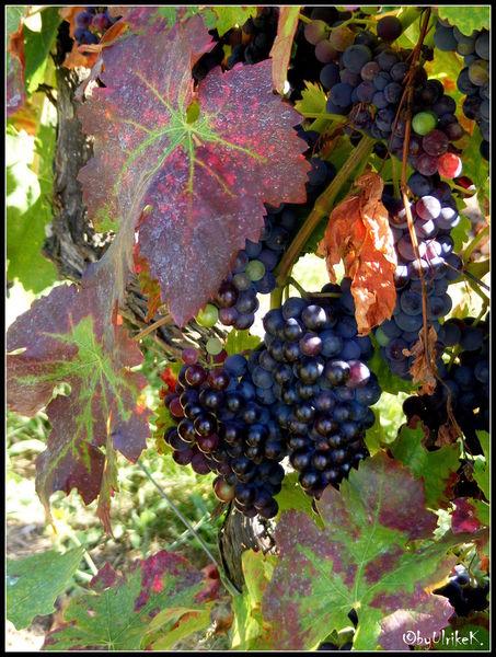 Rebe, Weinfest, Herbst, Neuer wein, Trauben, Fotografie