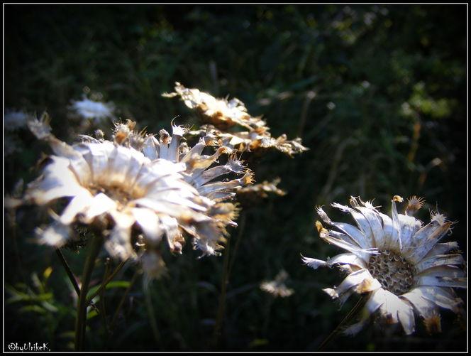 Pflanzen, Herbst, Samen, Wegesrand, Garten, Fotografie