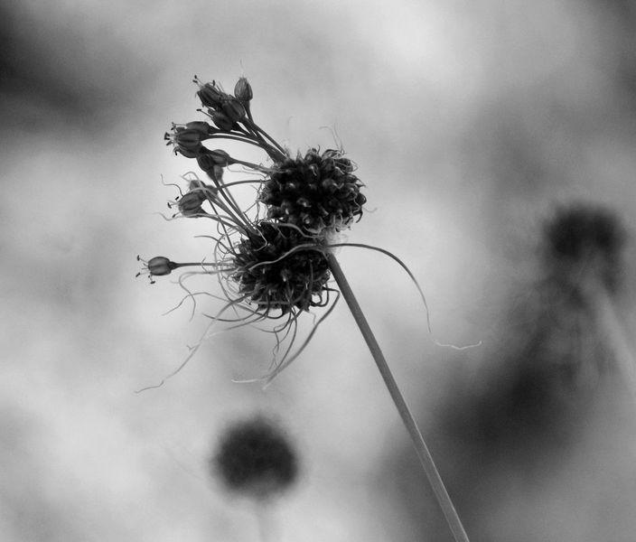 Fotografie, Pflanzen, Lauch, Krone, Königskinder