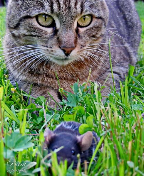 Makro, Maus, Tiere, Ratte, Natur, Katze