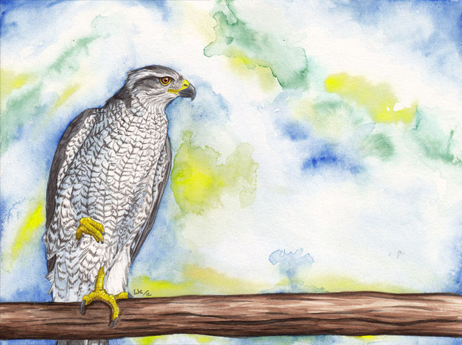 Habicht, Greifvogel, Aquarell, Tiere