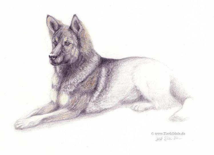 Schäferhund, Bleistiftzeichnung, Zeichnung hundeporträt, Realismus, Hundezeichnung, Grafik
