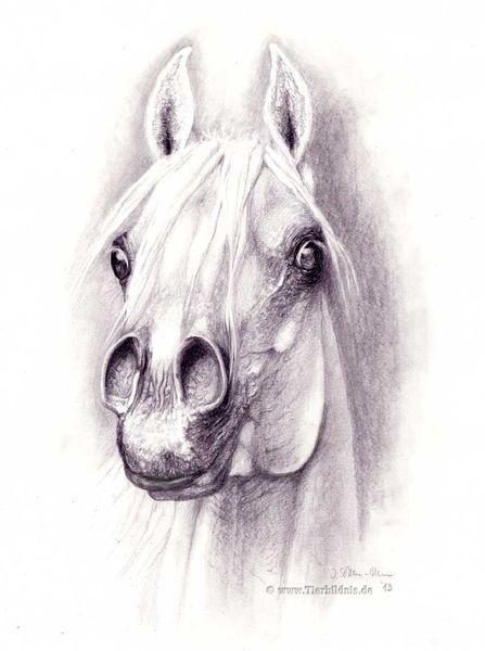 Nazeersohn nazeersöhne, El zahraa, Arabisches pferd, Pferdeportrait, Arabischer schimmelhengst, Nazeersohn