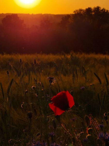 Sonnenuntergang, Feld, Mohn, Fotografie