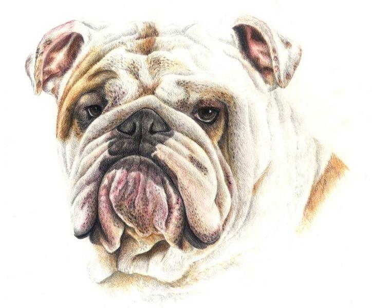 Zeichnung, Bulldogge, Buntstiftzeichnung, Tiere, Hund, Polychromos