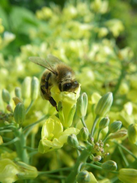 Tiere, Biene, Natur, Pflanzen, Fotografie, Realität